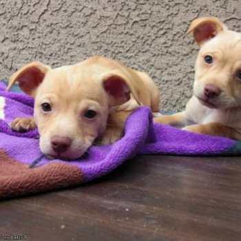 Chihuahua Rescue Las Vegas