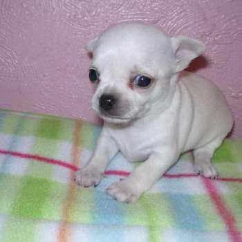 Chihuahua Rescue Ma
