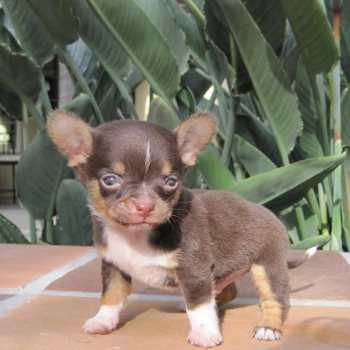 Chihuahua Rescue Massachusetts
