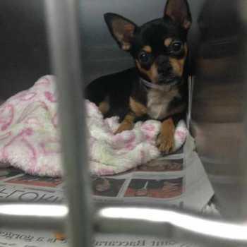 Chihuahua Rescue Miami