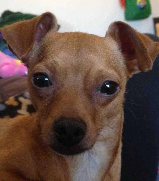 Chihuahua Rescue Ohio