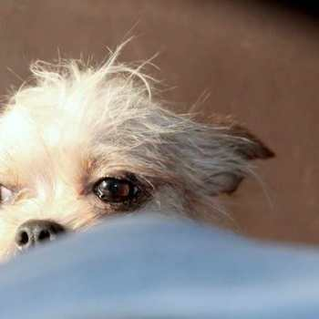 Chihuahua Rescue San Diego