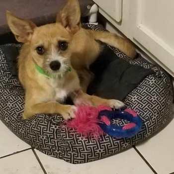 Chihuahua Rescue St Louis