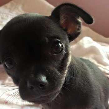 Chihuahua Rescue Texas