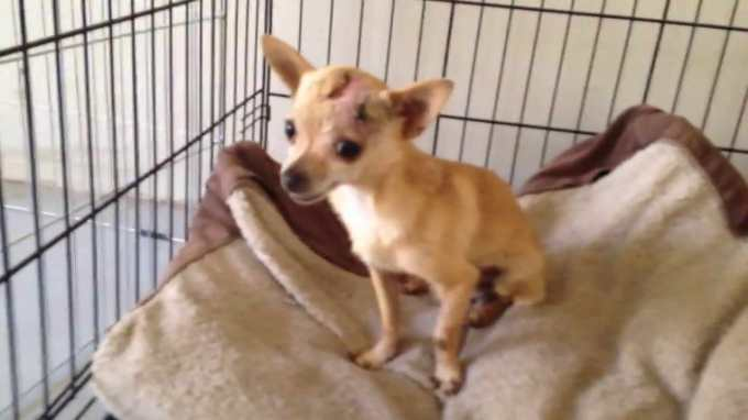 Chihuahua Resuce