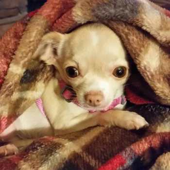 Chihuahua Seizure Treatment
