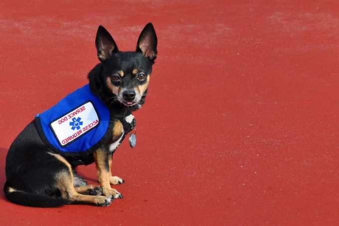 Chihuahua Service Dogs