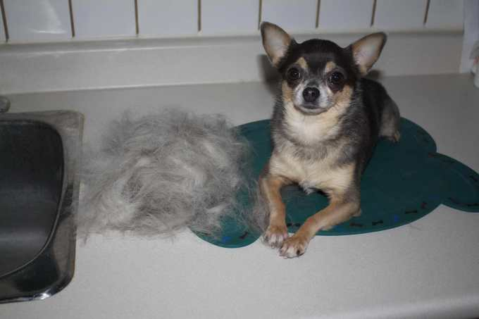 Chihuahua Shedding Brush