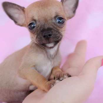 Chihuahua Tea Cup Puppies For Sale