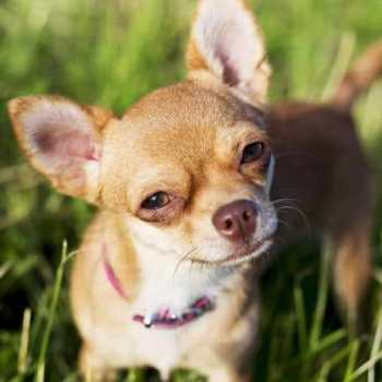Chihuahua Teacup Dogs
