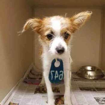 Chihuahua Terrier Mix Puppies Adoption