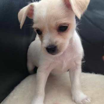Chihuahua Terrier Mix Puppies For Sale