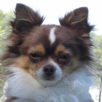 Chihuahua To Adopt
