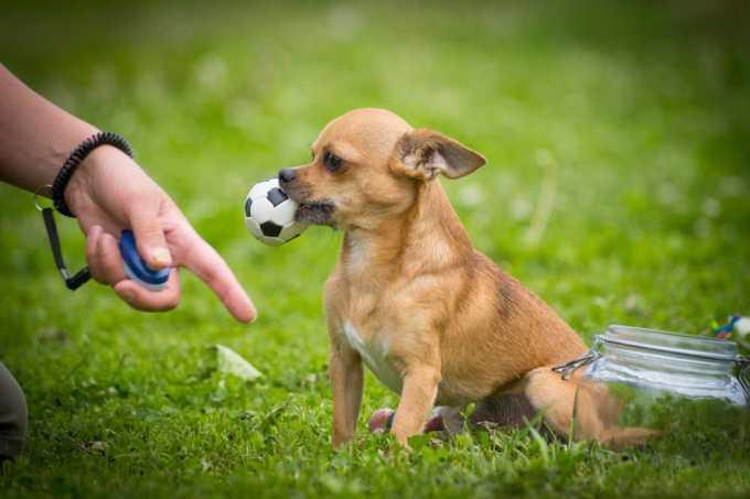 Chihuahua Traning