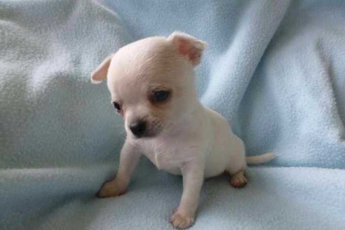 Chihuahua Uppies