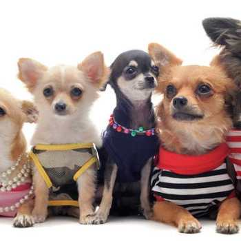 Chihuahua Wardrobe