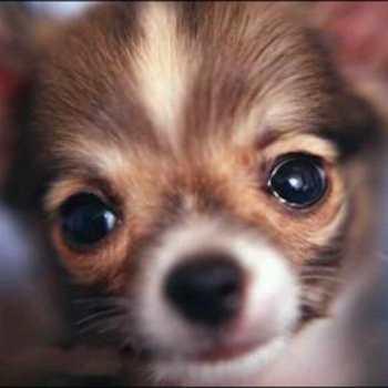 Chihuahua Watery Eyes