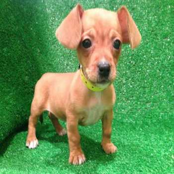 Chihuahua Weiner Dog Mix For Sale