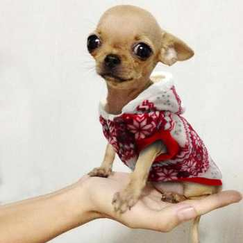 Chihuahua Winter Clothes
