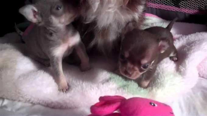 Chocolate Chihuahua Puppy For Sale