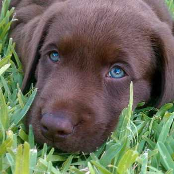 Chocolate Labrador Blue Eyes For Sale