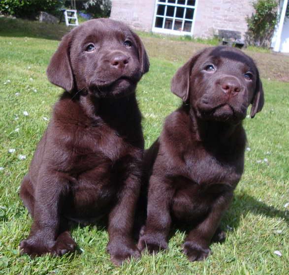 Chocolate Labrador Female Puppy