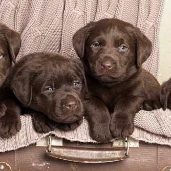 Chocolate Labrador Pupies