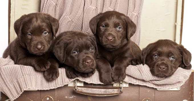Chocolate Labrador Pupies