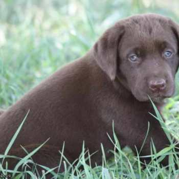 Chocolate Labrador Puppies For Sale In Kansas