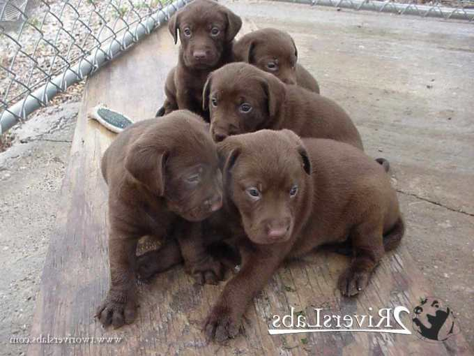 Chocolate Labrador Puppies For Sale In Kentucky