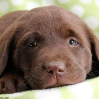 Chocolate Labrador Puppies For Sale In Southern California