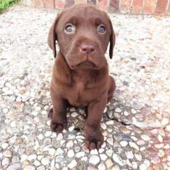 Chocolate Labrador Puppies For Sale In Texas
