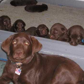 Chocolate Labrador Puppies For Sale In Virginia
