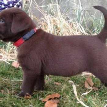 Chocolate Labrador Puppies For Sale In Washington