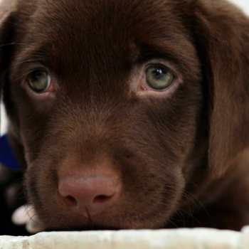 Chocolate Labrador Puppies Maryland