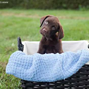 Chocolate Labrador Puppies Nj