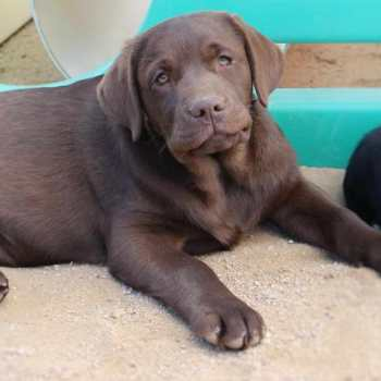 Chocolate Labrador Puppies San Diego