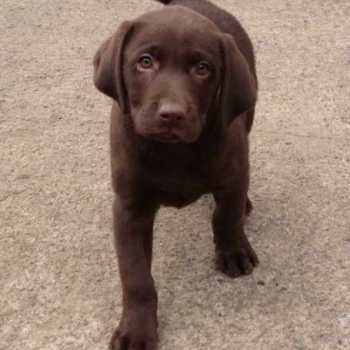 Chocolate Labrador Pups For Sale