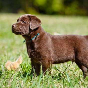 Chocolate Labrador Pups