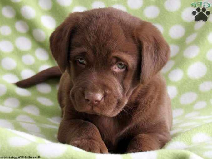 Chocolate Labrador Retriever Puppy For Sale