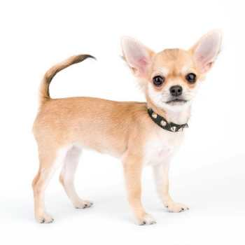Collar For Chihuahua Puppy