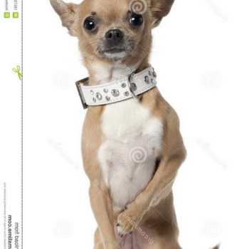 Collars For Chihuahua