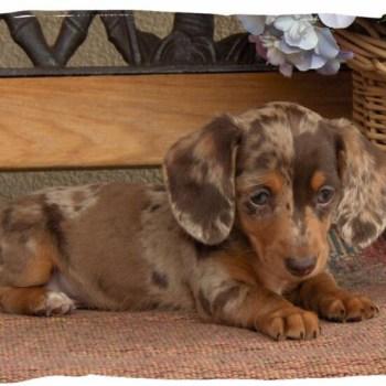 Colorado Dachshund Puppies