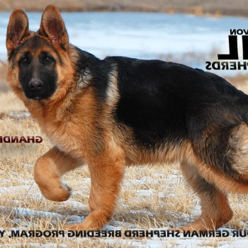 Colorado German Shepherd Breeder