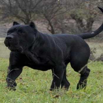 Canario Mastiff