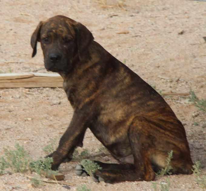 Cane Corso Rottweiler Mix Puppies