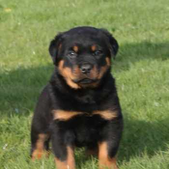 Champion Rottweiler Puppies