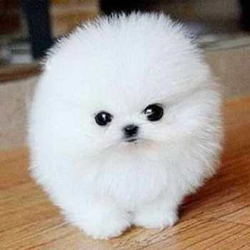 Cheap Micro Teacup Pomeranian Puppies For Sale