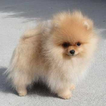Cheap Pomeranian Puppies For Sale Near Me