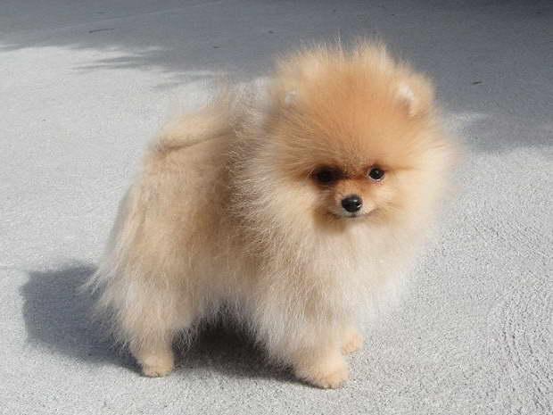 Cheap Pomeranian Puppies For Sale Near Me